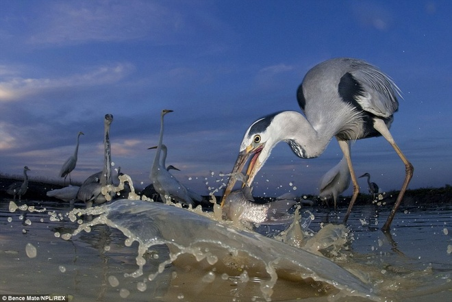 Dinner is served: A grey heron wades in to pluck out a fish with its long beak in Pusztaszer, Hungary