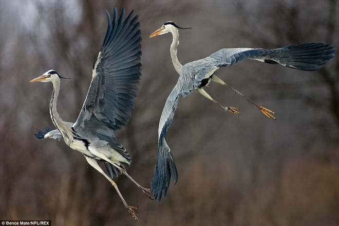 Taking flight: Two grey herons spreads their wings above Lake Csaj in Kiskunsagi National Park, Hungary